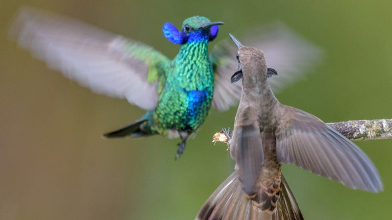 A sparkling violetear and a brown violetear display their elaborate neck side-feathers to intimidate each other and dissuade each other from using their weaponized bills, which feature teeth-like serrations and dagger-like tips.