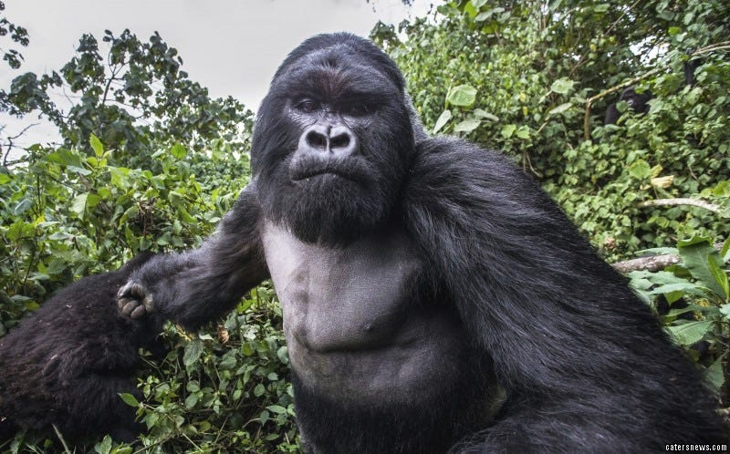 Illustration for article titled The gorilla who punched that photographer wasn't drunk