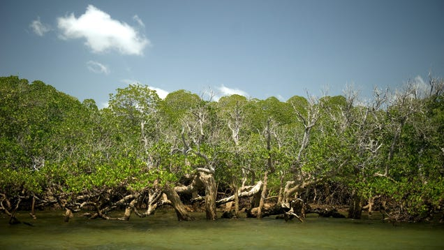 Sea Level Rise Could Drown Mangrove Forests By 2050