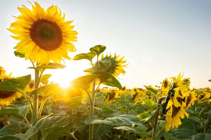 this is why sunflowers turn to face the sun