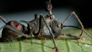 Illustration for article titled Parasites wage war against zombie-ant fungus