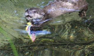 Illustration for article titled Hero Otter Saves iPhone from Watery Depths
