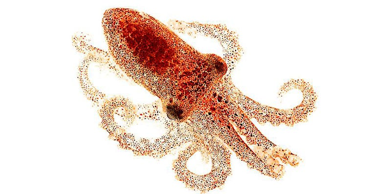 Illustration for article titled Octopus Senses Light With Its Skin, No Eyes Required