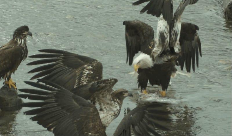 Una batalla entre un grupo de águilas a cámara superlenta es mejor que muchas escenas de acción del cine