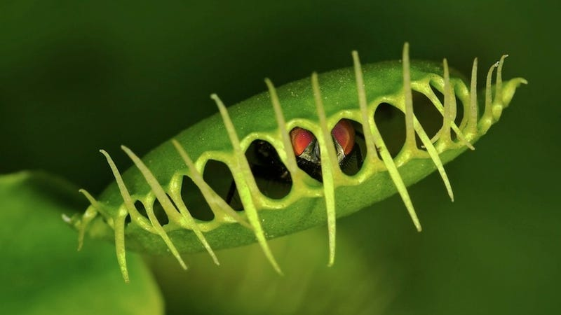 Illustration for article titled Carnivorous Plants Are Becoming Vegetarian Because of Pollution