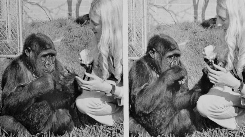 "Koko with her longtime caretaker, Dr. Francine ""Penny"" Patterson, in the 1970s"