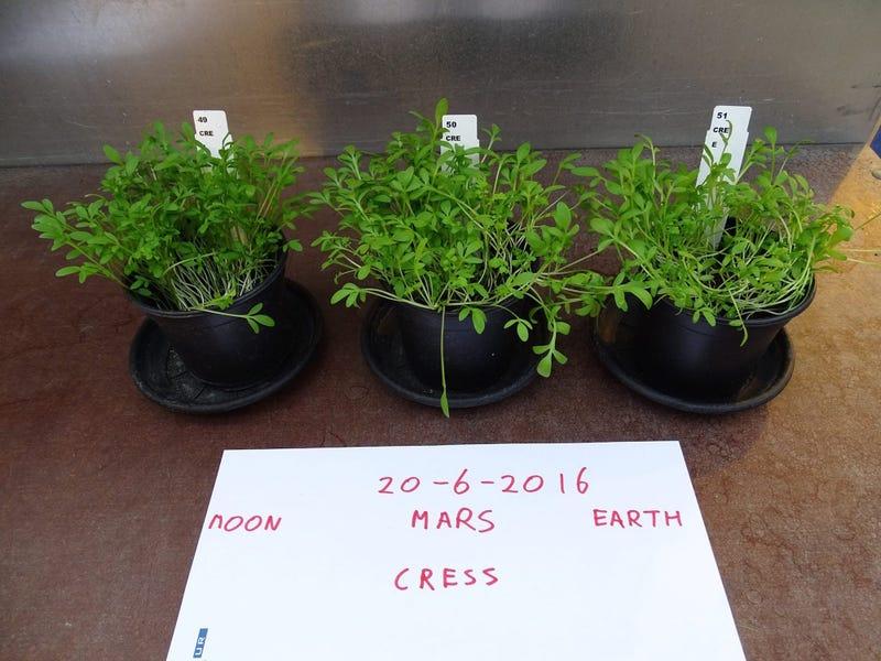 Plantas cosechadas en suelo lunar (izquierda), marciano (centro) y terrestre (derecha). Imagen: Wieger Wamelink.