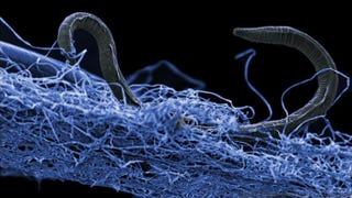 A nematode (eukaryote) in a biofilm of microorganisms found 1.4 kilometers down in an African gold mine.