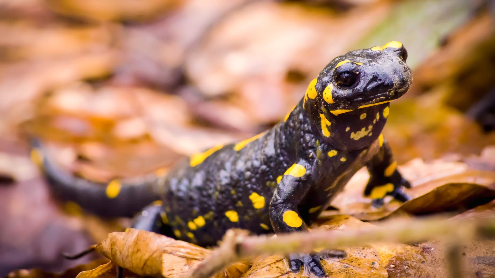Salamanders Bravely Offer To Go Extinct In Place Of Better Animal