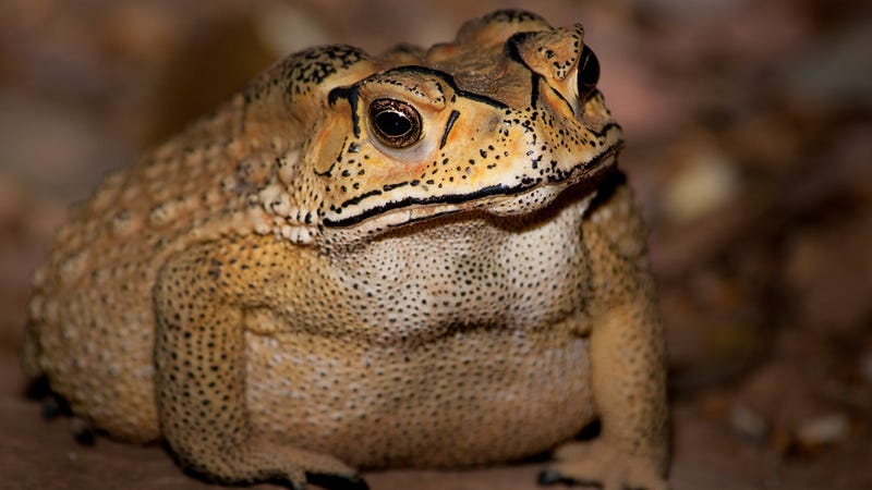 Duttaphrynus melanostictus, the toxic Asian toad invading Madagascar