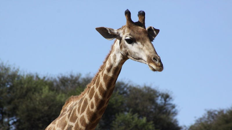 Giraffes Could Have Evolved Their Long Necks For a Surprising Reason