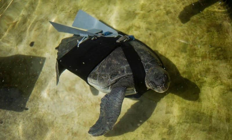 Illustration for article titled This Amputee Turtle's Prosthetic Fins Are Modeled On Fighter Jet Wings