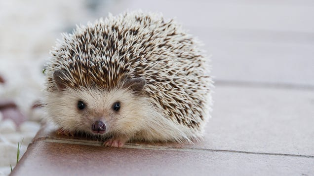 CDC Warns Against Kissing, Snuggling Pet Hedgehogs Amid Salmonella Outbreak