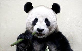 """Illustration for article titled """"A pandák olyanok, mint a jobbikosok"""": a 2013-as tél legjobb pandaellenes kirohanása"""