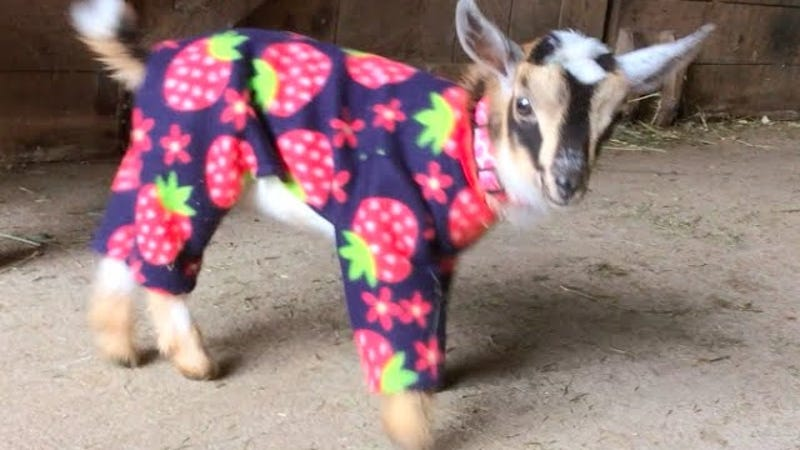 Baby Goats In Pajamas To World It S Called Fashion Look