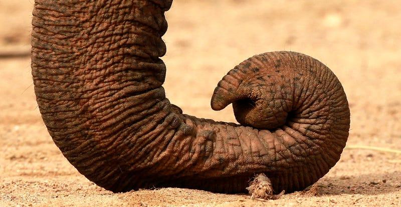 Illustration for article titled Qué hay en el interior de una trompa de elefante