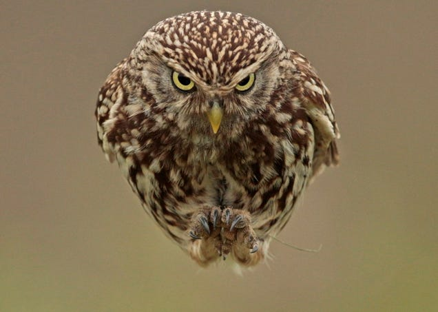 This Owl Is Flying Straight Into Your Face