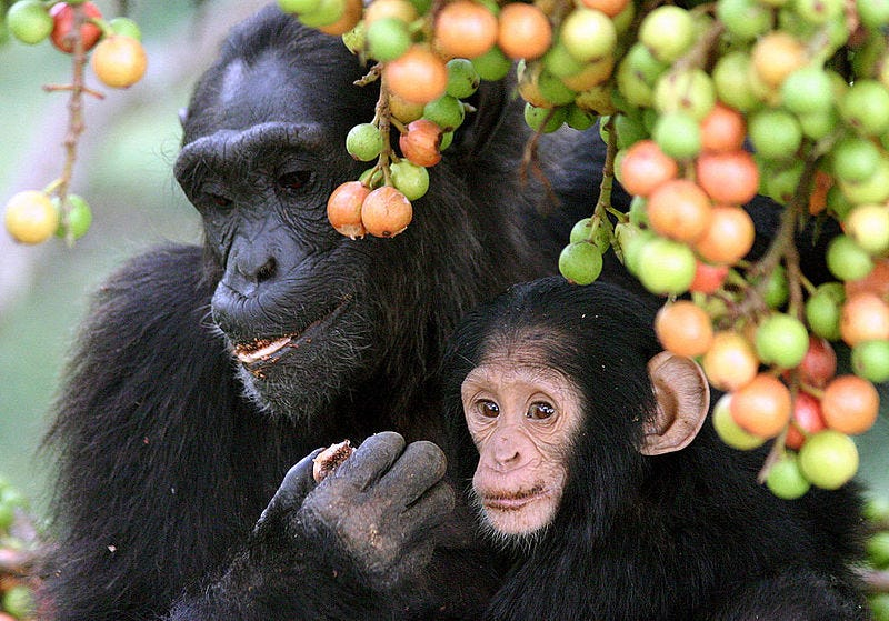 Illustration for article titled Video Footage Captures Mommy Chimp Caring For Disabled Baby In the Wild