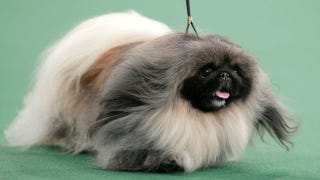Illustration for article titled Hilariously Cute Pekingese Takes Best in Show at Westminster