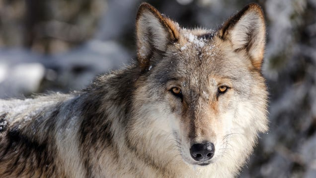 Montana s Governor Killed a Yellowstone Wolf