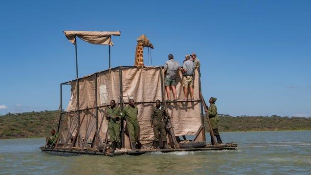 A Daring Giraffe Rescue Is Underway in Kenya