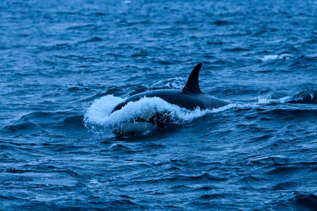 For Some Strange Reason, Orcas Are Ramming Into Boats in Northern Spain