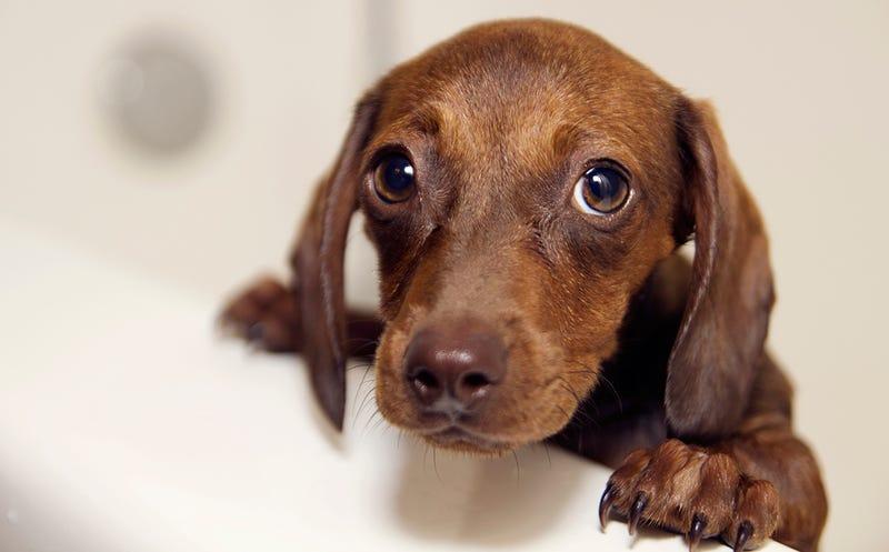 La mirada de culpabilidad que lucen los perros cuando han hecho algo mal no es lo que piensas. Es miedo
