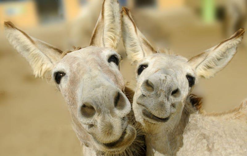 Illustration for article titled Amorous Donkeys Reunite After Prudish Complaints Tore Them Apart