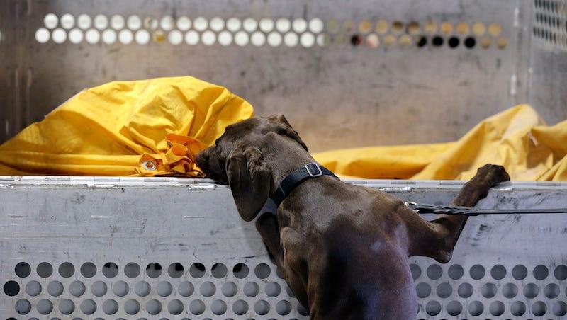 Según la TSA de Estados Unidos, los perros con las orejas caídas asustan menos a la gente.