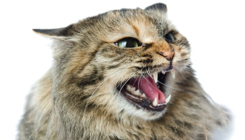 Illustration for article titled Florida Cat 'Freaks Out,' Traps Family in Bedroom Until Police Arrive