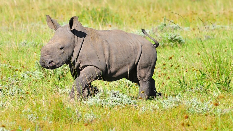 Illustration for article titled Orphaned Baby Rhino Thinks Grey Jeep Is His New Mom