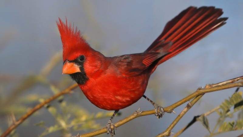 The Northern Cardinal Is Actually Multiple Species Evidence Suggests