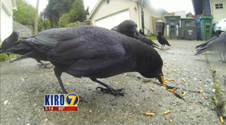 Illustration for article titled Seattle Neighbors Are Seriously Pissed About Those Crows That Bring Gifts to an 8-year-old Girl
