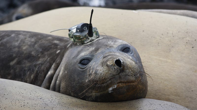 An elephant seal with a CTD sensor on its head. An individual seal is typically only tagged once in its lifetime, and sensors usually only stay on for a few months until the animal molts.
