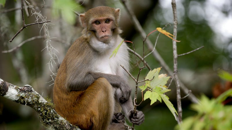 A free-roaming monkey in Florida's Silver Springs Park. It may or may not have herpes B. (Image: AP)