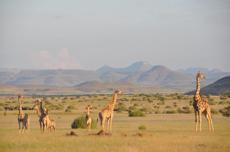 Angolan giraffe herd in Damaraland, NW Namibia. Image: Julian Fennessy