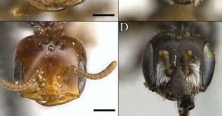 A male Perdita bee (left) has a surprisingly ant-like head, especially when compared with its female counterpart (right). Image: Zach Portman/Utah State University