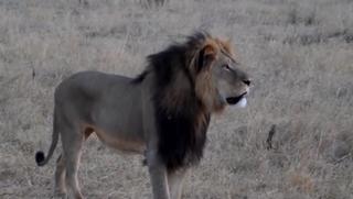Cecil the lionCNN