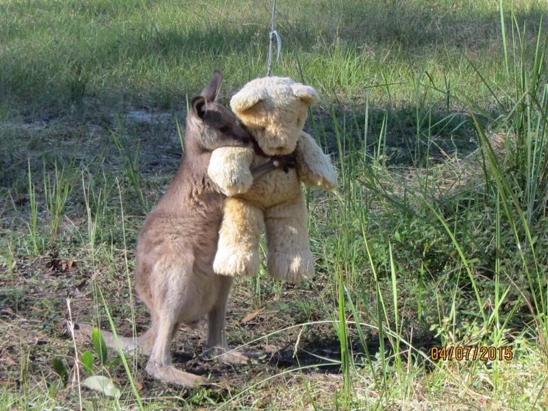 Illustration for article titled An Orphaned Wallaby Gets Comfort From His Teddy Bear