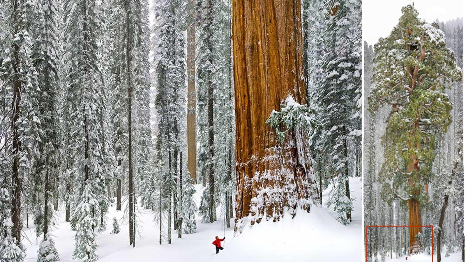 Para retratar este colosal árbol fue necesario unir 126 fotos