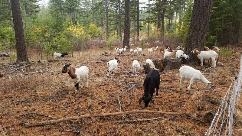 Firefighting Goats Devour Fuel Across the West Before it can Burn