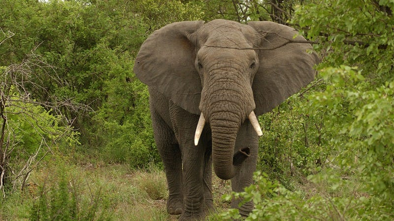 Now That Trump Is Ending The Senseless Ban On Elephant Trophies, My Wife Can Finally Get The Elephant Head Transplant She Desperately Needs To Live