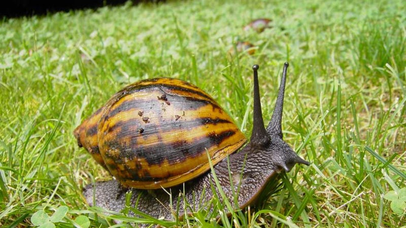 Dont worry floridas giant african snail problem is totally under wikimedia freerunsca Gallery