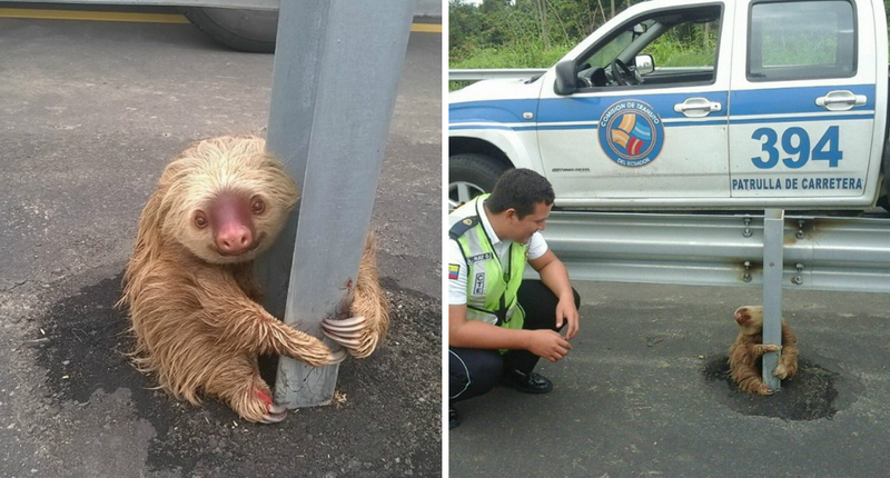 Illustration for article titled Ecuador Cops Save Tiny Terrified Sloth In Most Adorable Highway Rescue Ever