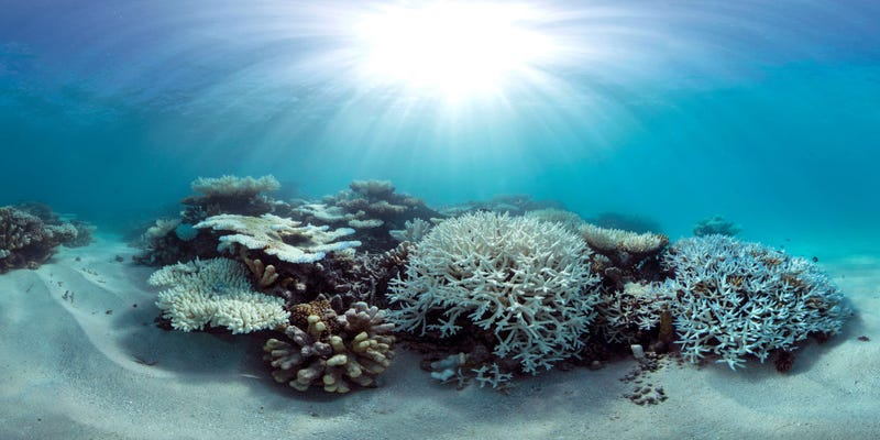 Coral bleaching in the Maldives. Source: The Ocean Agency/XL Catlin Seaview Survey/Stephanie Roach