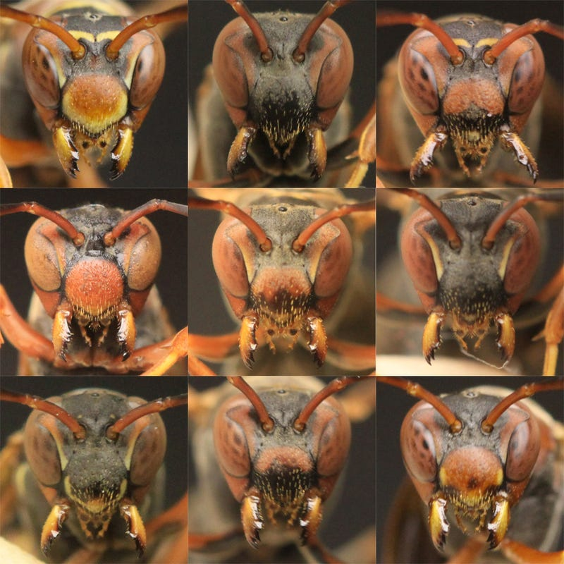 Illustration for article titled Paper wasps can recognize each other's faces at a glance