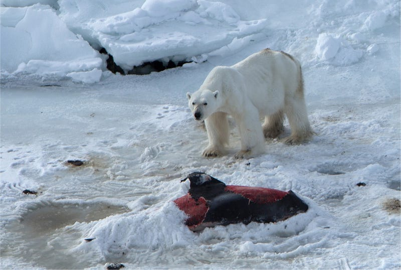 Illustration for article titled Unprecedented Photos Show A Polar Bear Eating Dolphins