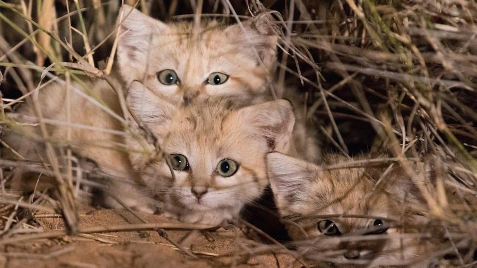 Logran grabar por primera vez en la historia a una camada de gatitos del desierto en estado salvaje