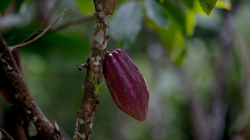 A cacao pod in Venezuela, 2015. Image via AP.