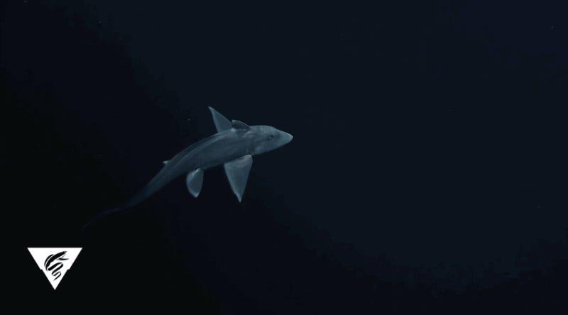 Rare Footage of a Deep Sea Ghost Shark is Creepy as Hell